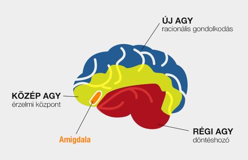 Amigdala helye az agyban
